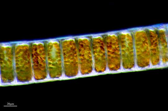 Image of <i>Ellerbeckia arenaria</i> (Moore ex Ralfs) R. M. Crawford 1988