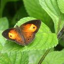 Image of Orange Bush-brown