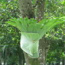 Image of staghorn fern