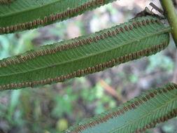 Image of <i>Marattia fraxinea</i> Sm.