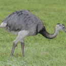 Image of Greater rhea