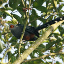 Image of Chestnut-bellied Malkoha
