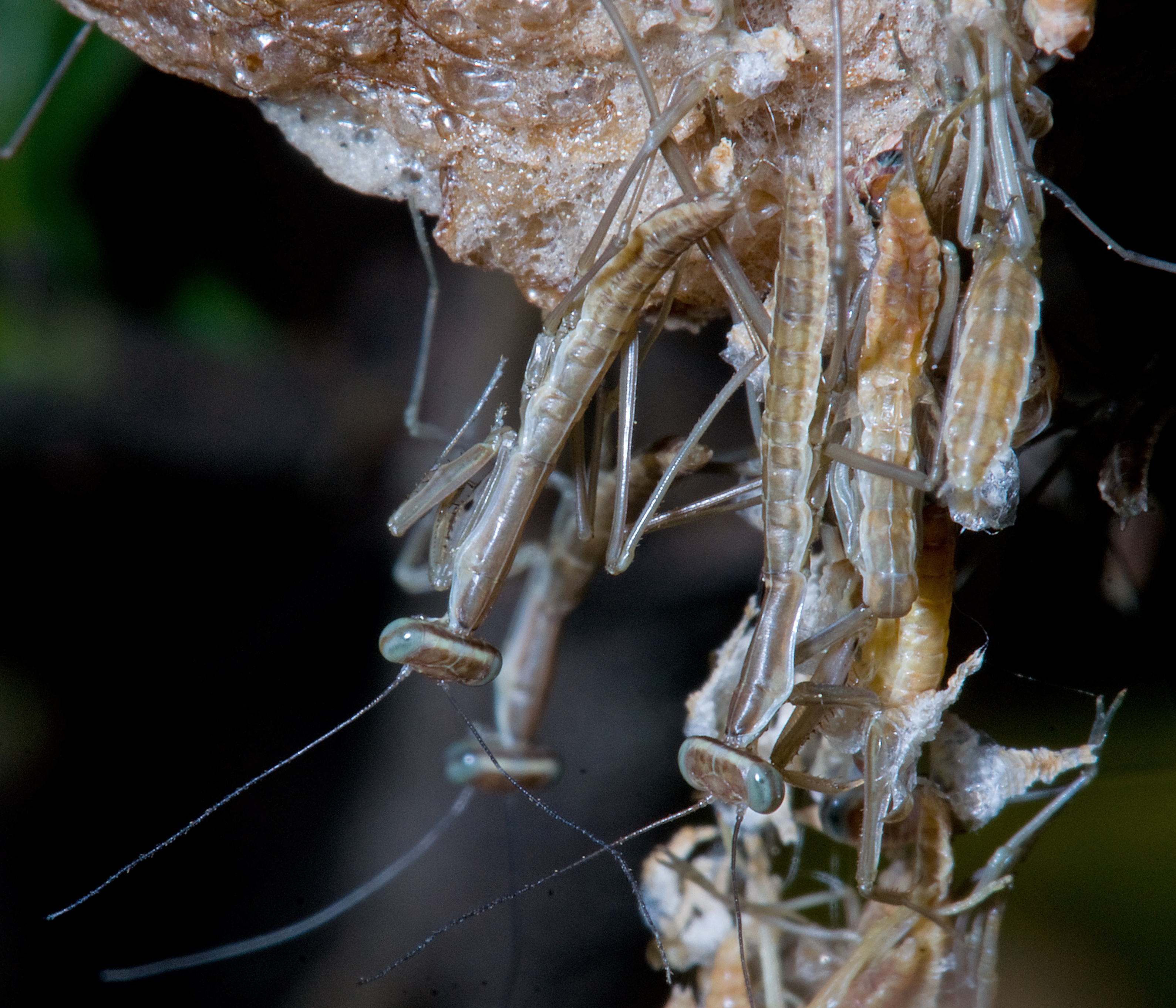 Image of Chinese mantis