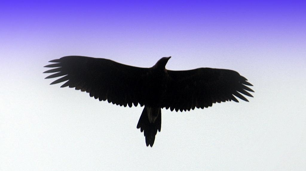 Image of Wedge-tailed eagle