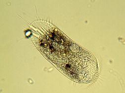 Image of <i>Stylonychia mytilus</i>
