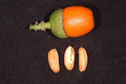 Image of <i>Aegiphila filipes</i> Mart. & Schauer