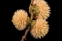 Image of <i>Bactris constanciae</i> Barb. Rodr.
