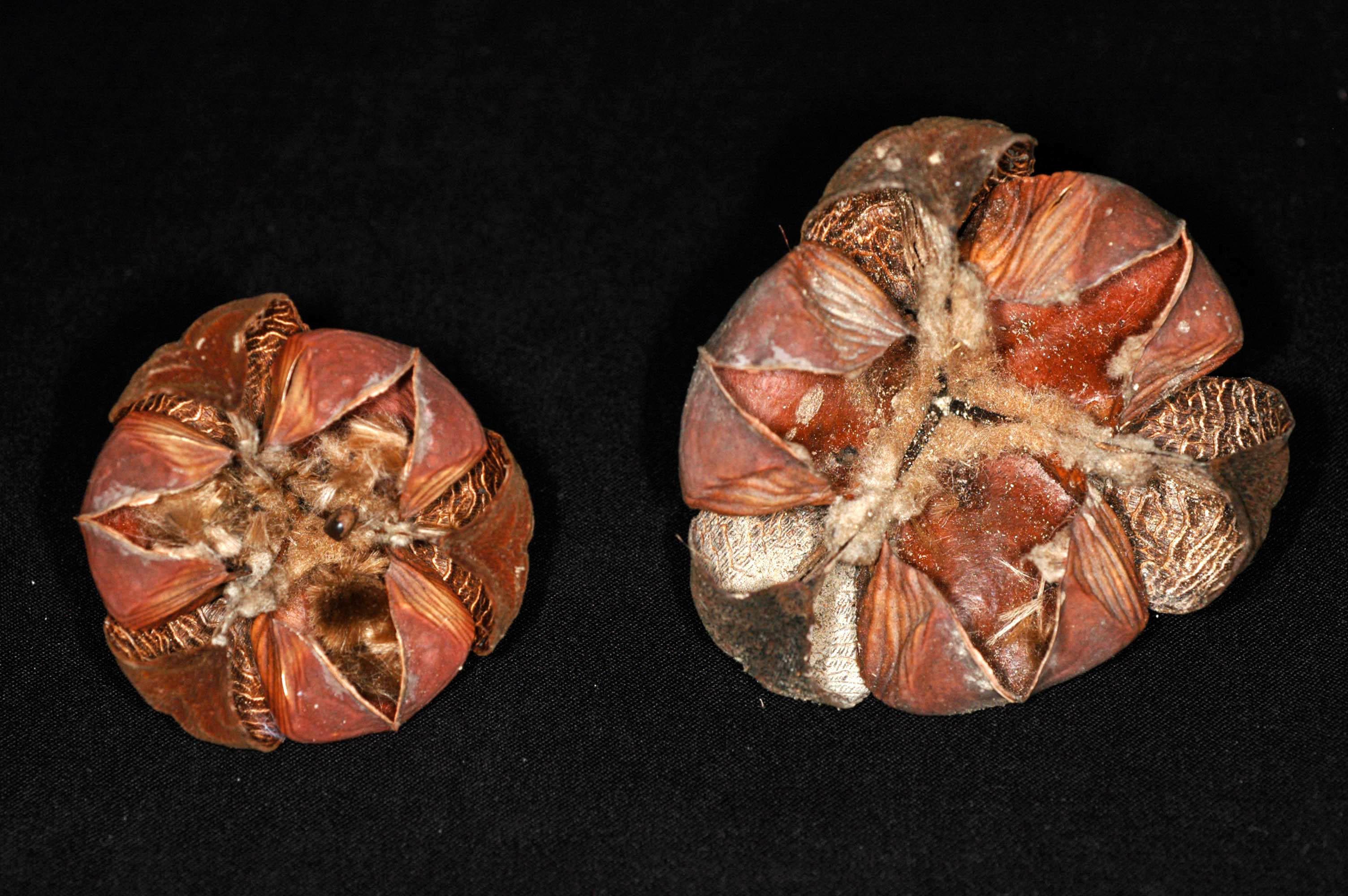 Image of <i>Cochlospermum orinocense</i> (Kunth) Steud.