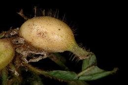 Image of <i>Coussarea flava</i> Poepp.