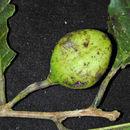Image of <i>Rinoreocarpus ulei</i> (Melchior) Ducke