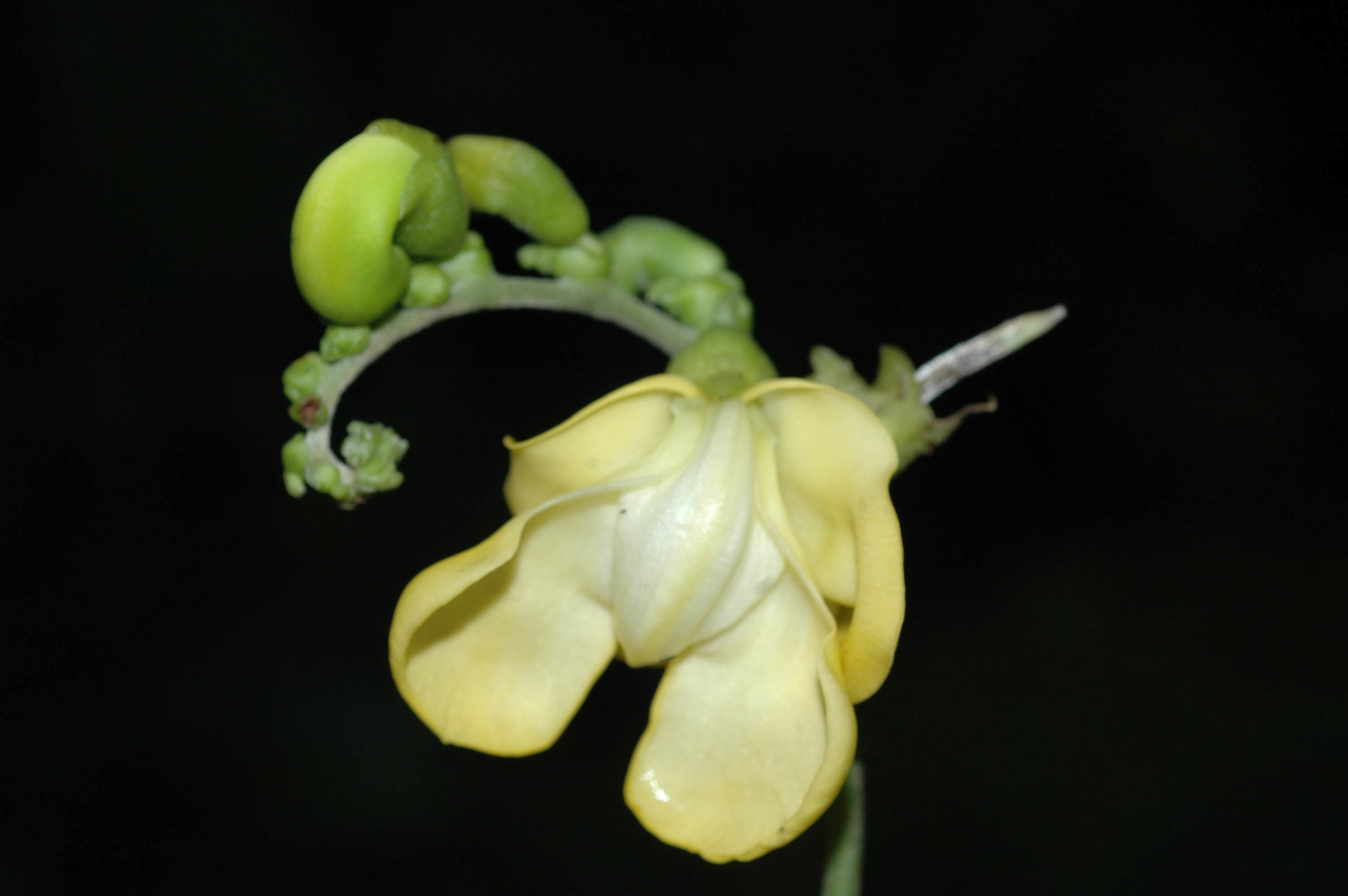 Image of hairypod cowpea