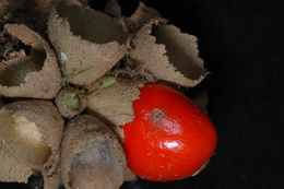 Image of <i>Aegiphila cordata</i> Poepp.