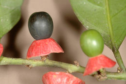 Image of <i>Heisteria acuminata</i> (Humboldt & Bonpland) Engler