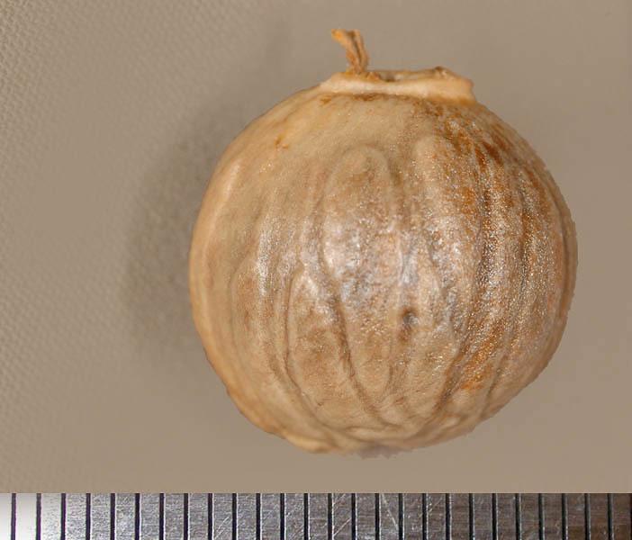 Image of <i>Otoba parvifolia</i> (Mgf.) A. H. Gentry