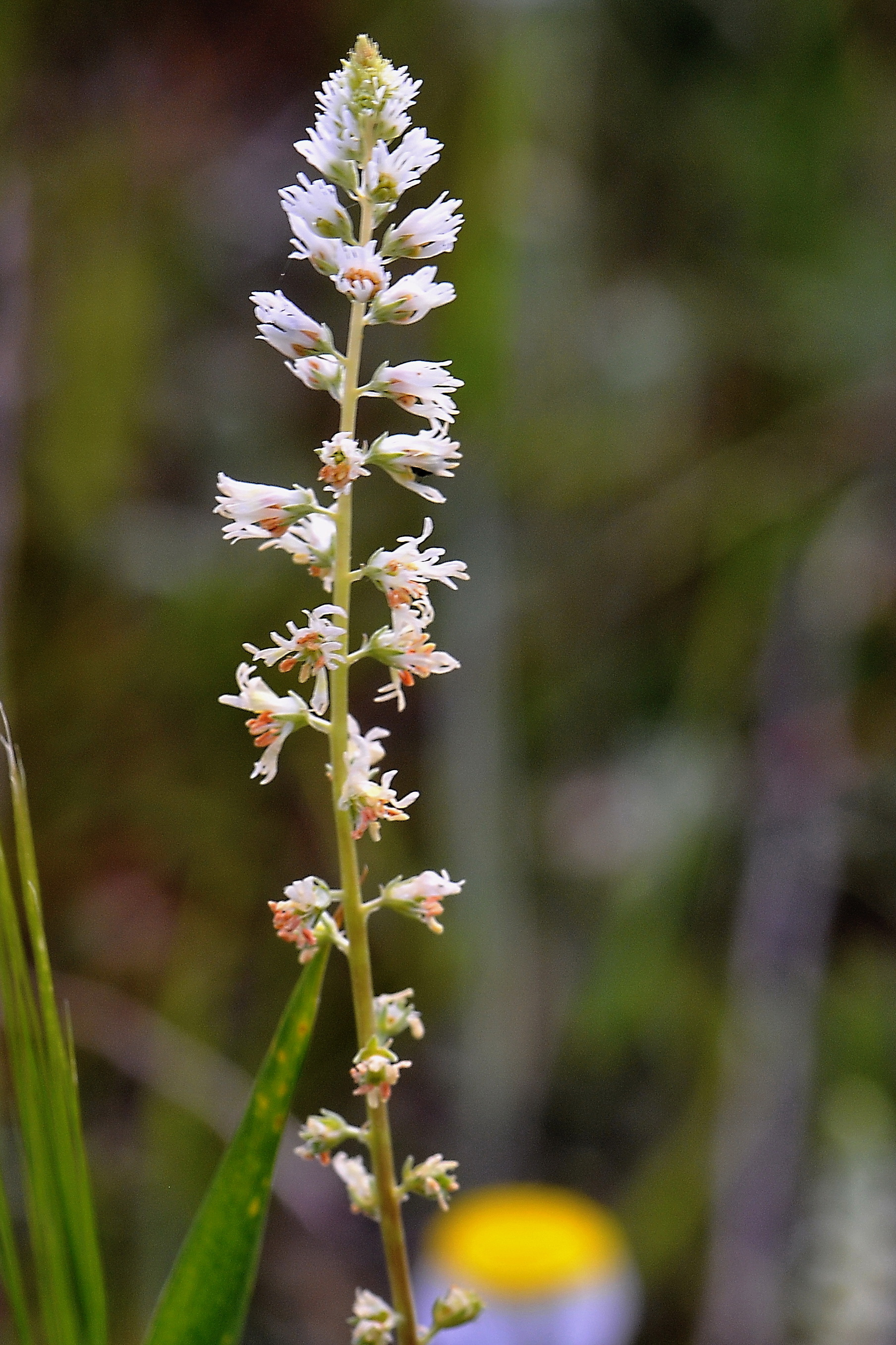 Image of <i>Reseda <i>undata</i></i> ssp. undata