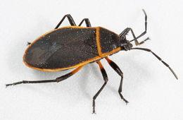 Image of Largus Bug