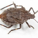 Image of Four-humped Stink Bug