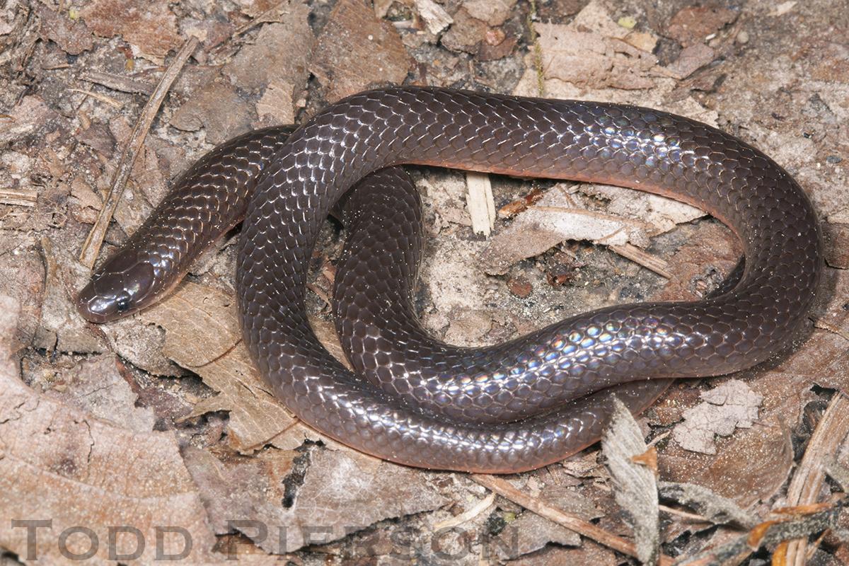 Image of Eastern Worm Snake