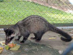 Image of Asian Palm Civet