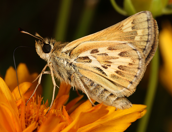 Image of Sandhill Skipper