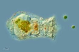 Image of <i>Brachionus caliciflorus</i>