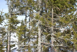 Image of Norway Spruce