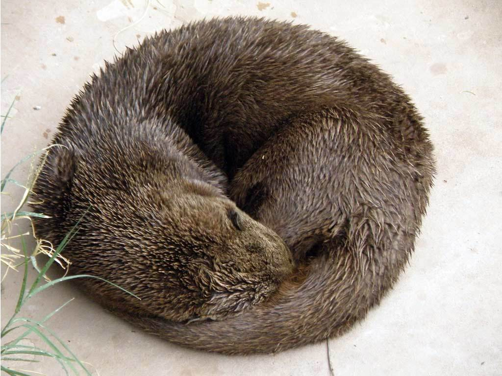 Image of African River Otter
