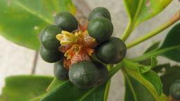 Image of <i>Pagamea guianensis</i> Aubl.