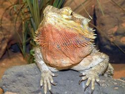 Image of central bearded dragon