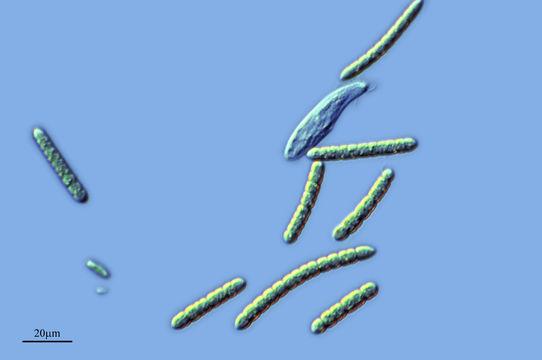 Image of <i>Borzia trilocularis</i> Cohn