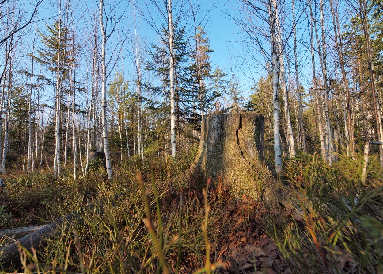 Image of downy birch