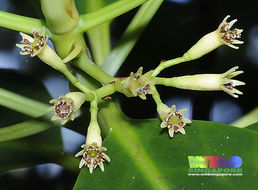 Image of Smallflower Bruguiera