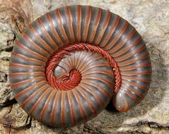 Image of American giant millipede