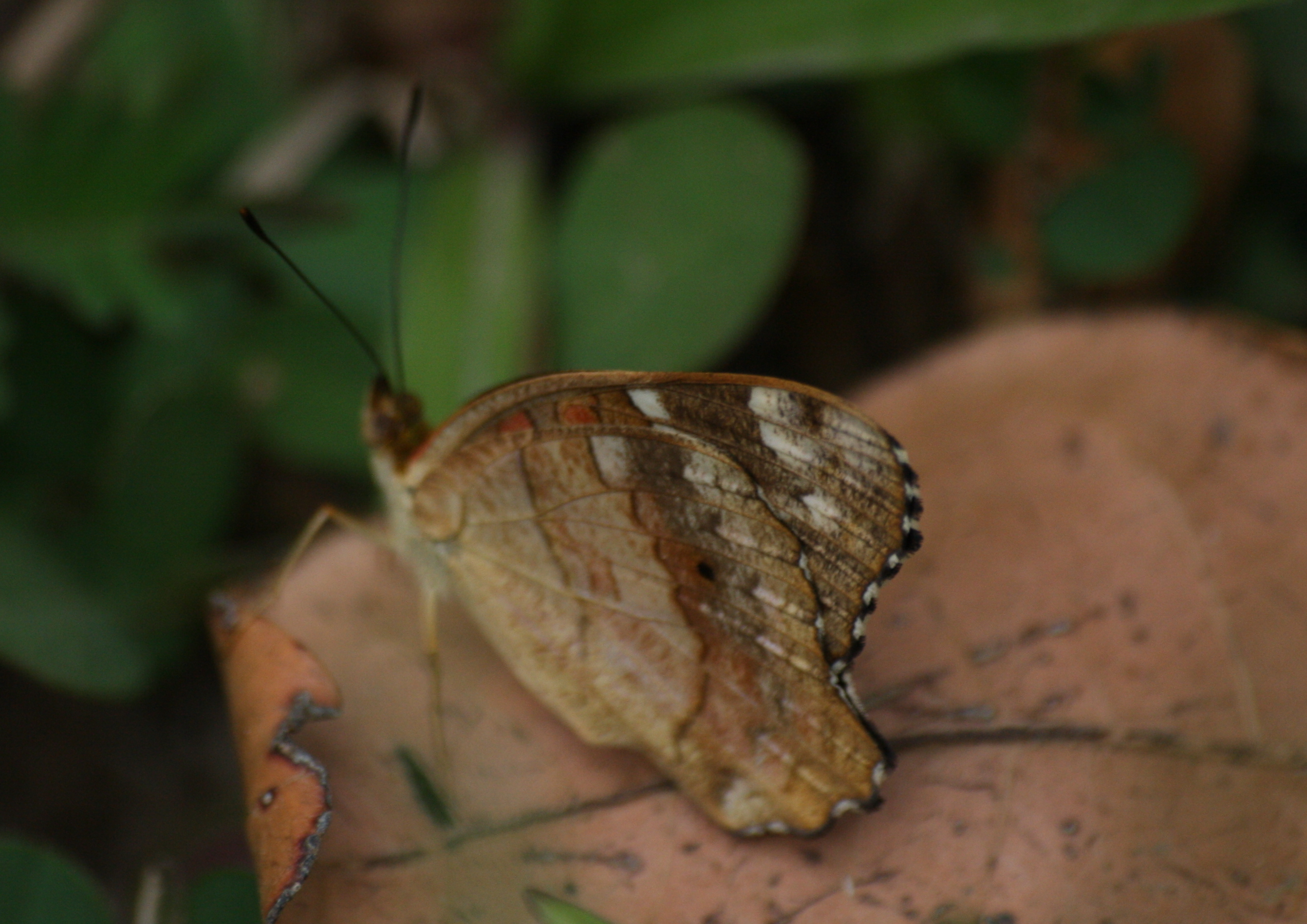 Image of <i>Anartia <i>amathea</i></i> ssp. amathea