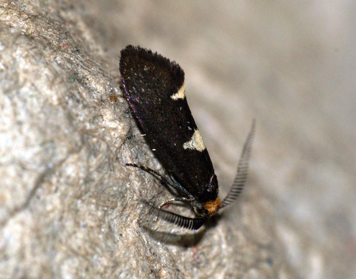 Image of feathered diamond-back