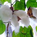 Image of tree cotton