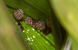 Image of Great Fruit-eating Bat