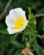 Image of <i>Rosa pouzinii</i> Tratt.