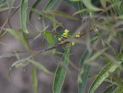 Image of Notelaea ipsviciensis