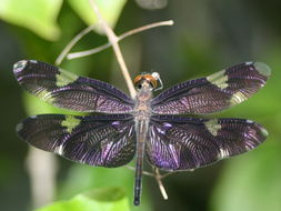 Image of Sapphire Flutterer