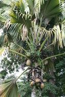 Image of Coco-de-mer