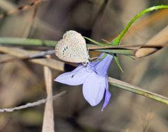 Image of Dark Grass Blue