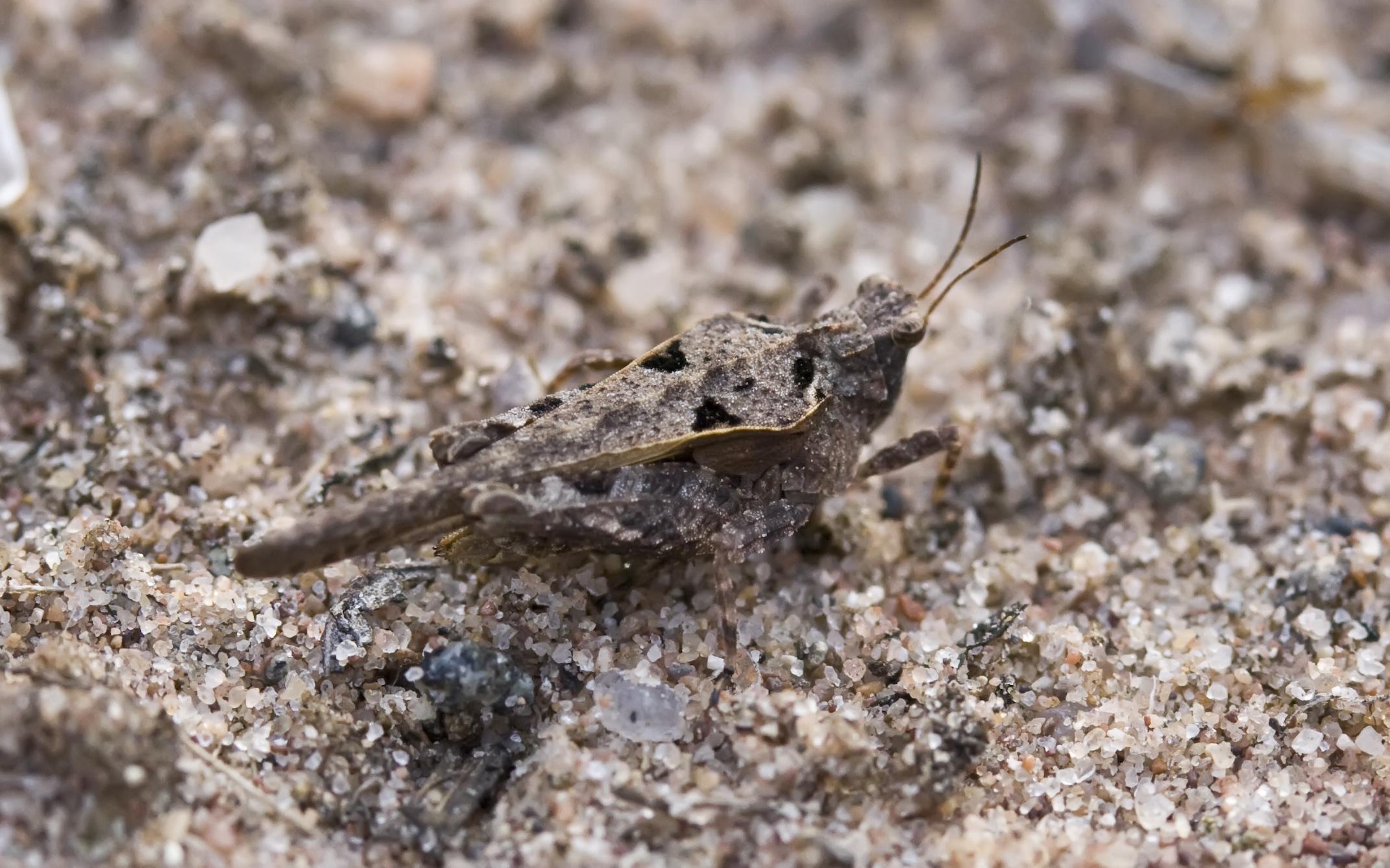 Image of Ornate Pygmy Grasshopper