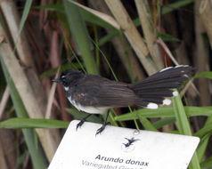 Image of <i>Rhipidura javanica longicauda</i> Wallace 1865