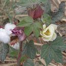 Image of upland cotton