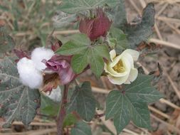 Image of upland cotton