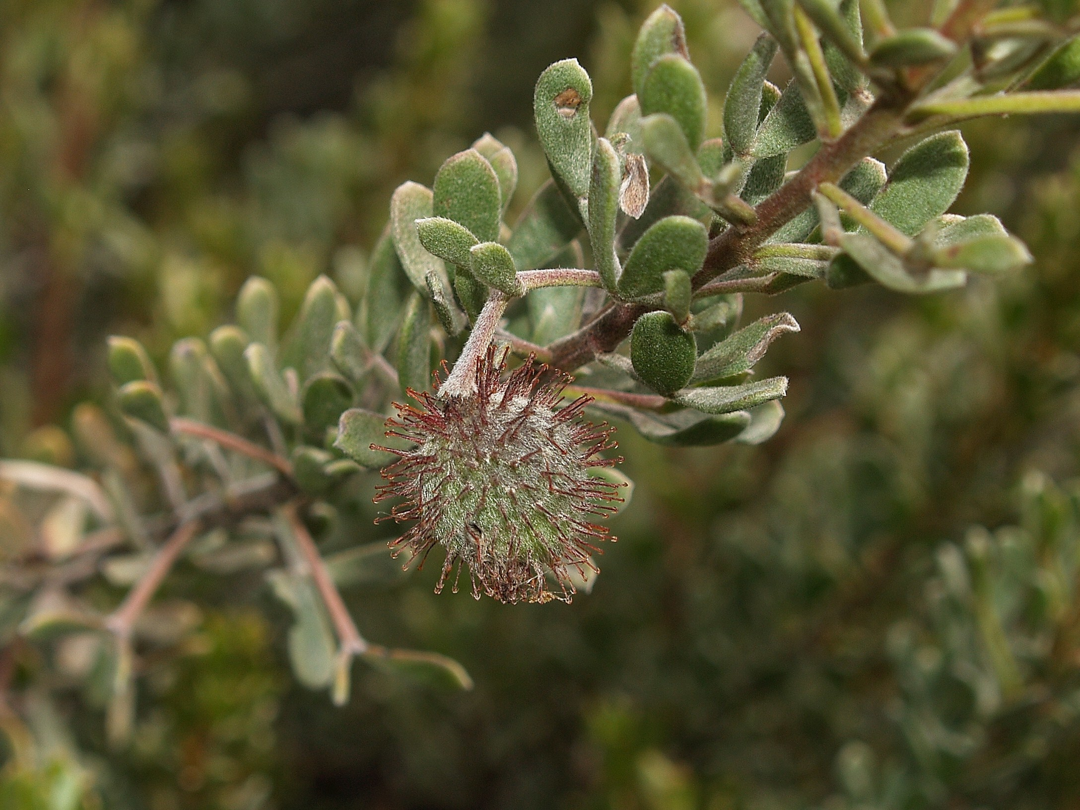 Image of three leaved silver ratany
