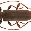 Image of <i>Trinophylum cribratum</i> Bates 1878