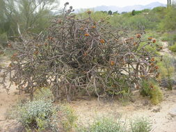 Image of staghorn cholla
