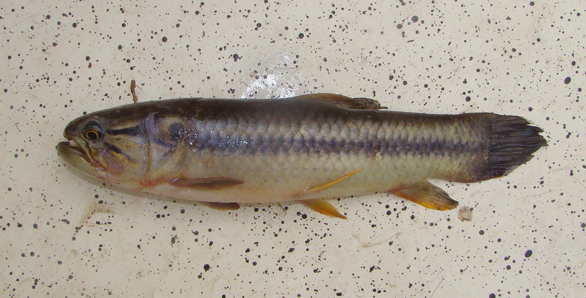 Image of <i>Hoplerythrinus unitaeniatus</i> (Spix & Agassiz 1829)